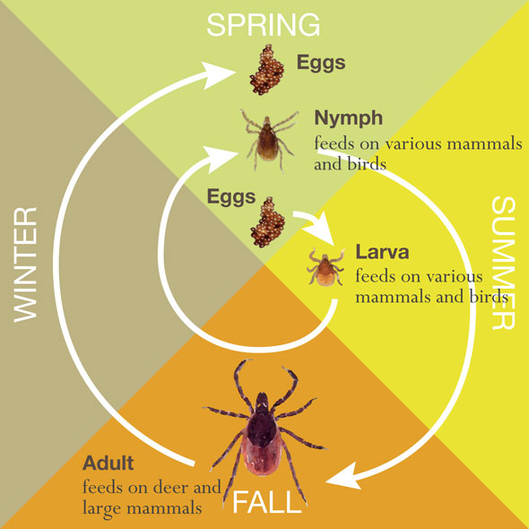 What's happening to the tick life cycle?